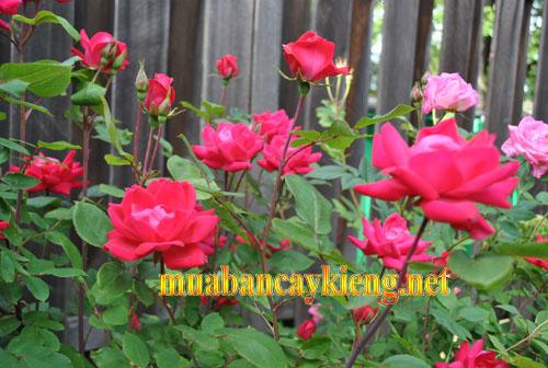 cây hoa hồng bình dương.jpg