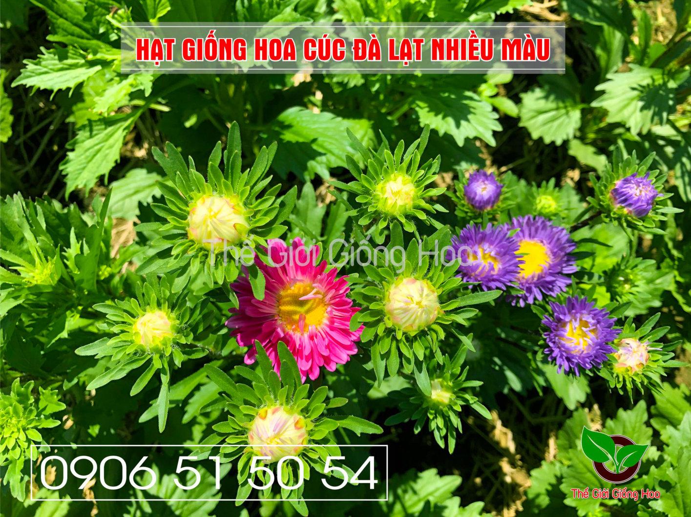 cuc-dalat-nhieu-mau-10-jpg.48696