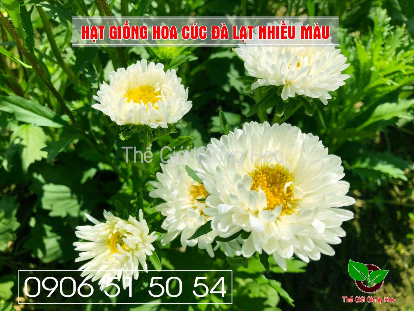 cuc-dalat-nhieu-mau-12-jpg.48697