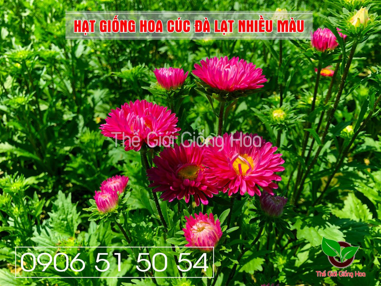 cuc-dalat-nhieu-mau-14-jpg.48698