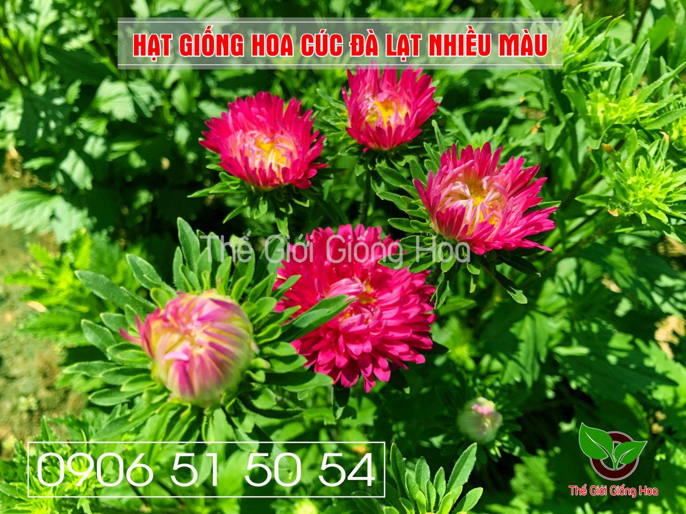 cuc-dalat-nhieu-mau-16-jpg.48699