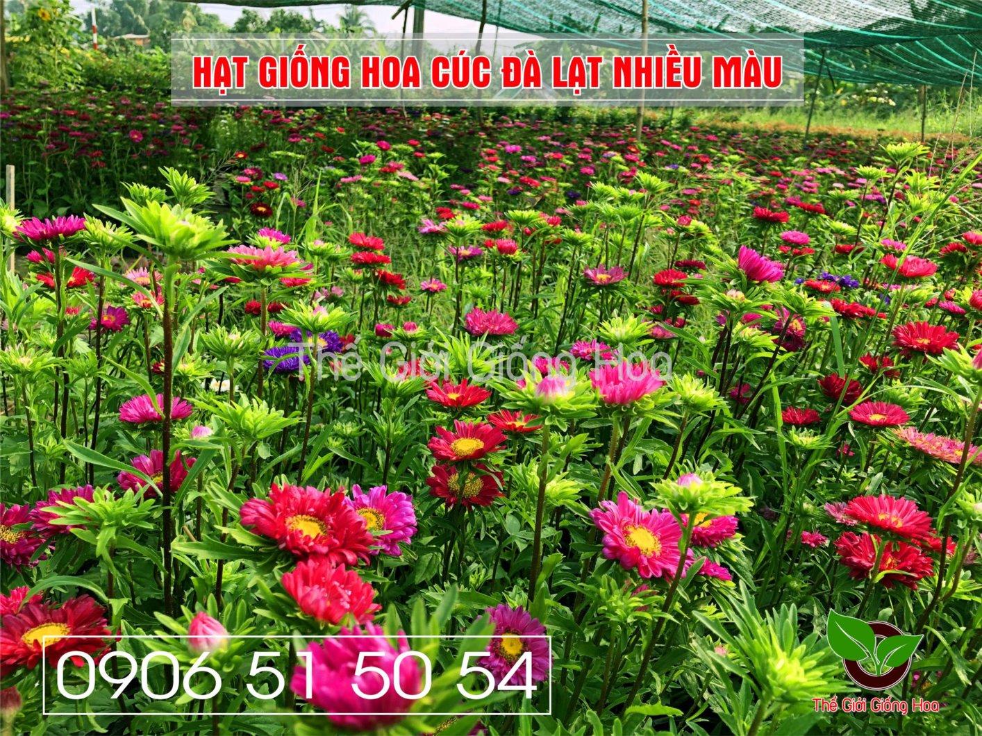 cuc-dalat-nhieu-mau-9-jpg.48695